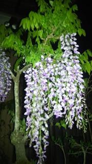 20180501231006藤の花.jpg