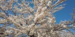 2021桜_210405.jpg